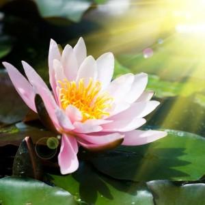 Herz, Lotus, Liebe, Beziehung