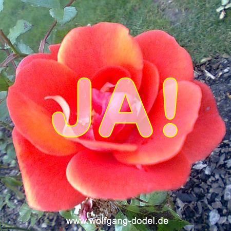 Ja, erblühen, Zauberwort, Rose