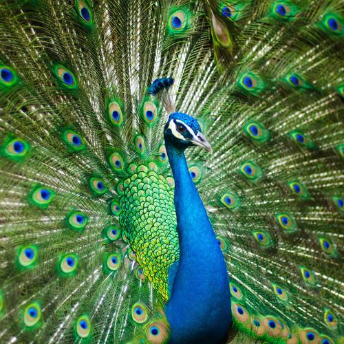 Pfau, Vogel, Sichtbar werden, peacock