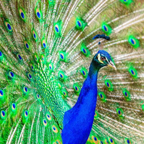 Pfau, peacock, sichtbar