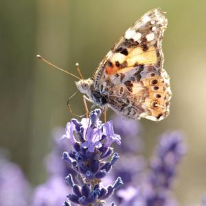 Lavendel, Heilpflanze, Schmetterling