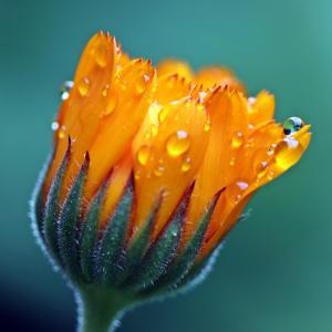 Ringelblume, Heilung, Seelenbusiness