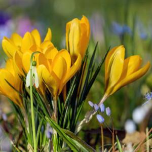 Frühling, Knospe, Krokus, Blume